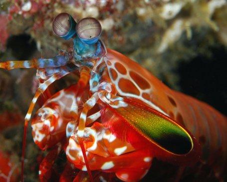 Harlequin Shrimp of Cebu, Mactan Divesites