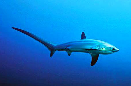 thresher-shark-malapascua-island