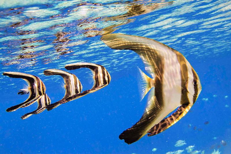 juvenile-batfish