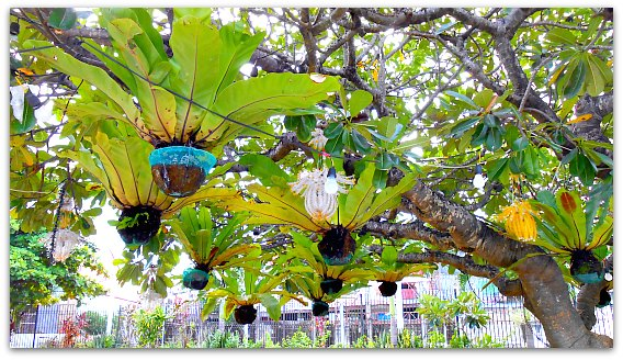 These are called Birds's Nest Fern, among other plants you can see at Mactan Shrine Park.