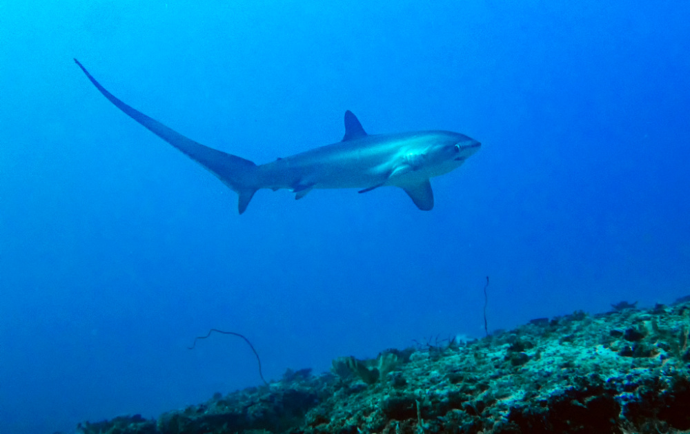 thresher-shark-malapascua