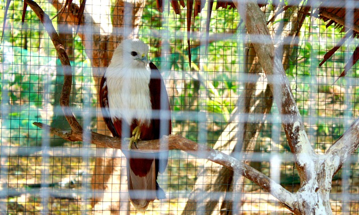 Philippine Hawk at Bantayan Island Nature Park & resort