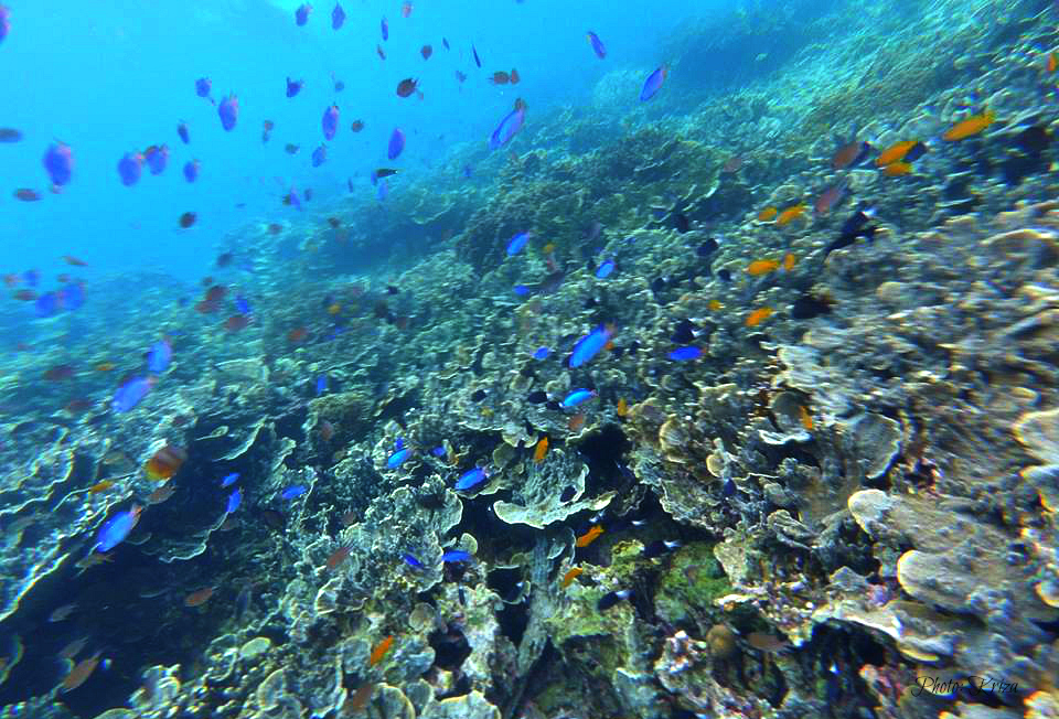 cebu-corals