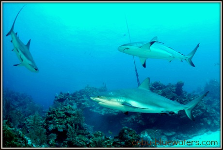 tropical sharks