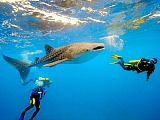 Oslob Whale Sharks. Whale shark swimming or diving is now a recently discovered hot tourist attraction on this island. Check out the link page and enjoy!