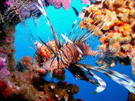 Dragon Fish. It is one of the common sites in the Cebu underwater world. Dragon fish is known for its colors and fins.