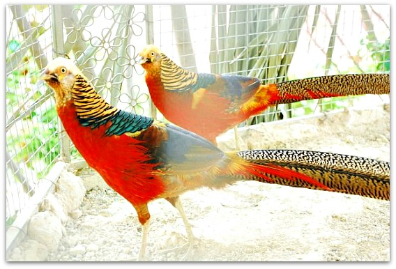 Other colorful things you can see at Genesis Mountain Valley Resort are the animals and birds in their zoo.