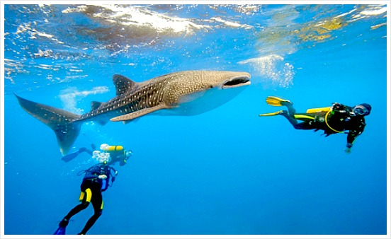Whale Sharks. Since whale sharks are not aggressive and seem not threatened by human's presence many tourists swim with them using snorkels or scuba tools just to enjoy seeing them underwater. The most popular place in Cebu for whale shark watching is in Oslob.